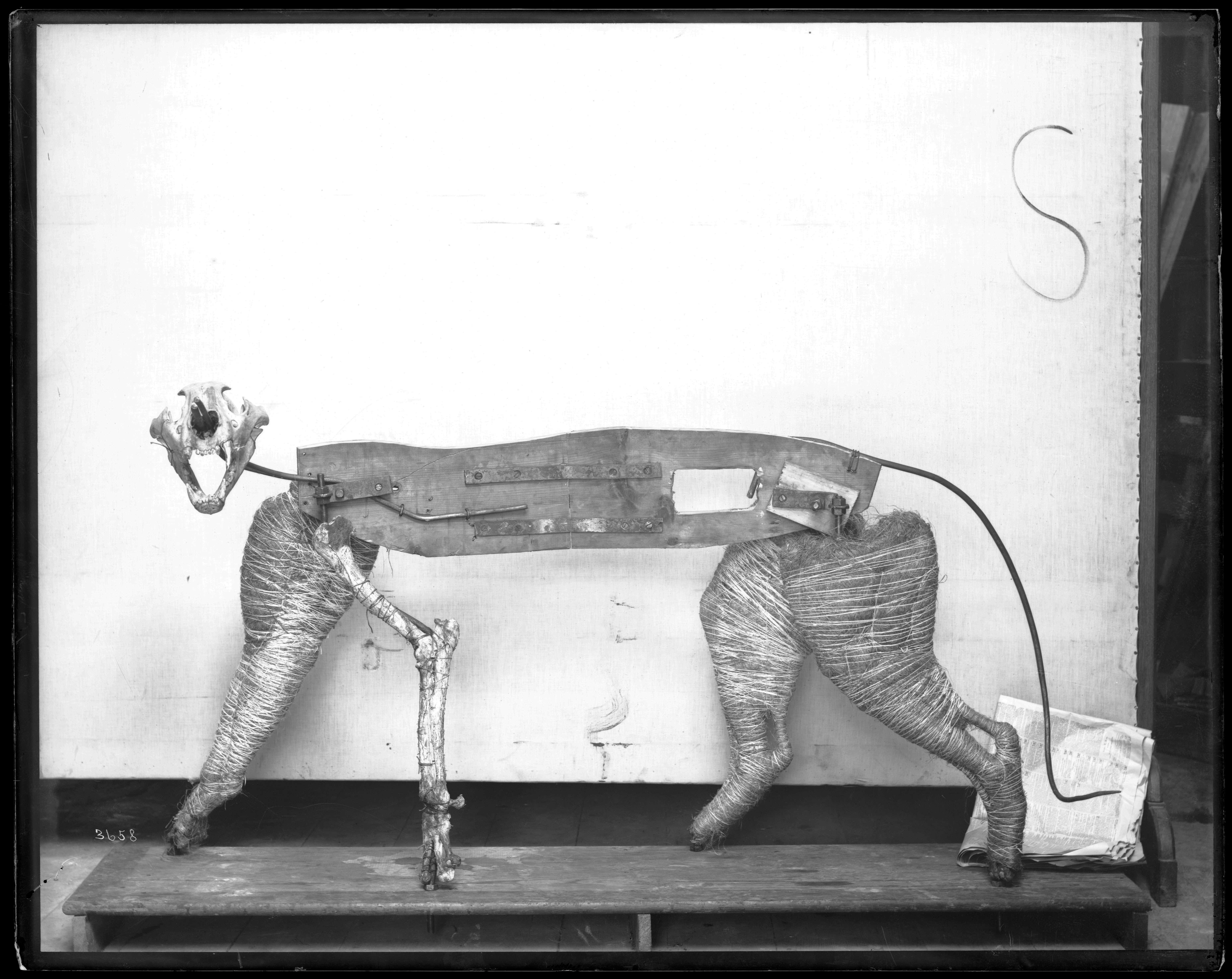Taxidermy Frame for Tiger Model, 1880s; Glass negative