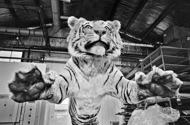 Taxidermied Tiger