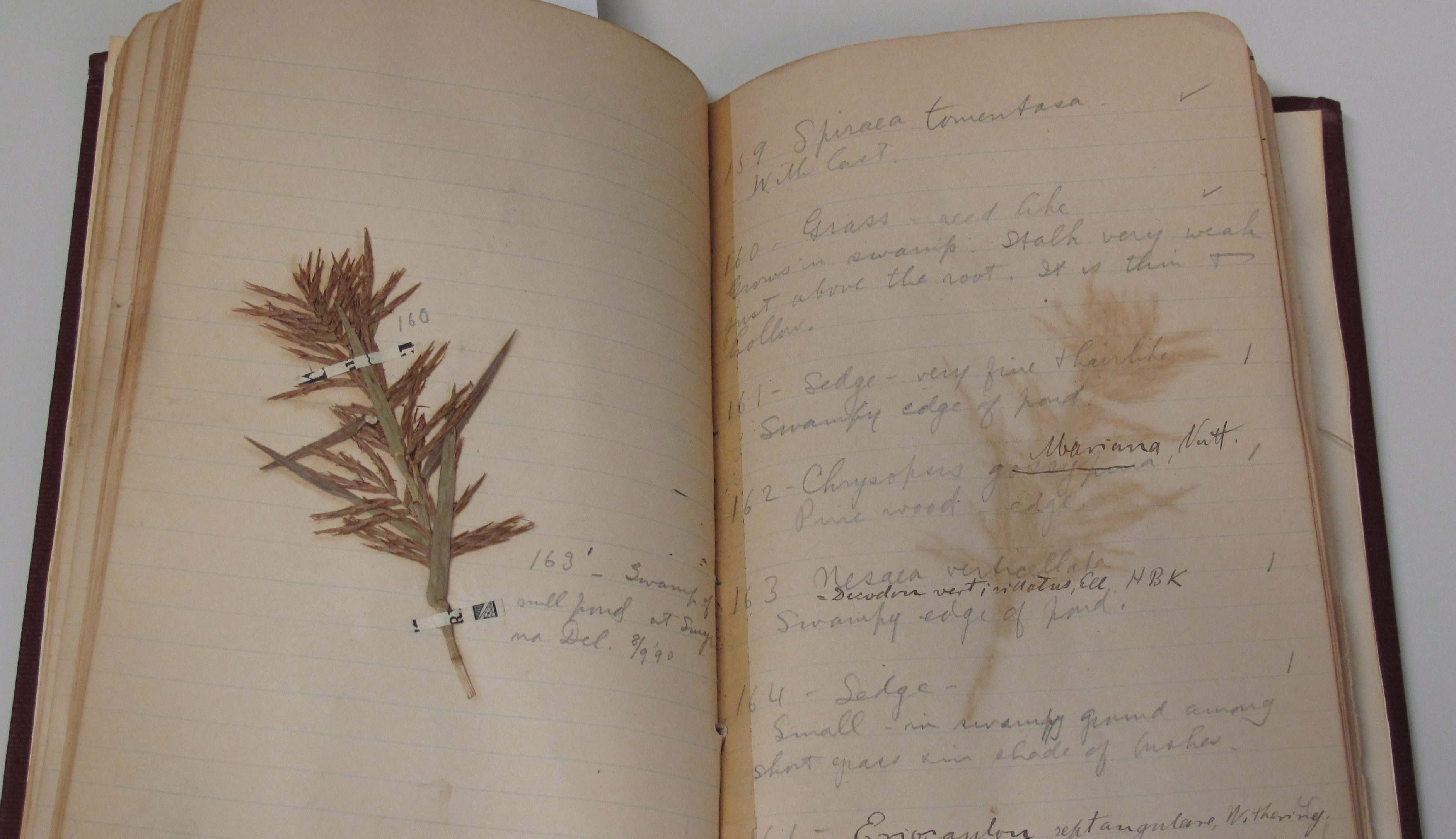 Botanical Specimen, Accession 12-130 - Jesse Herman Holmes Field Notes