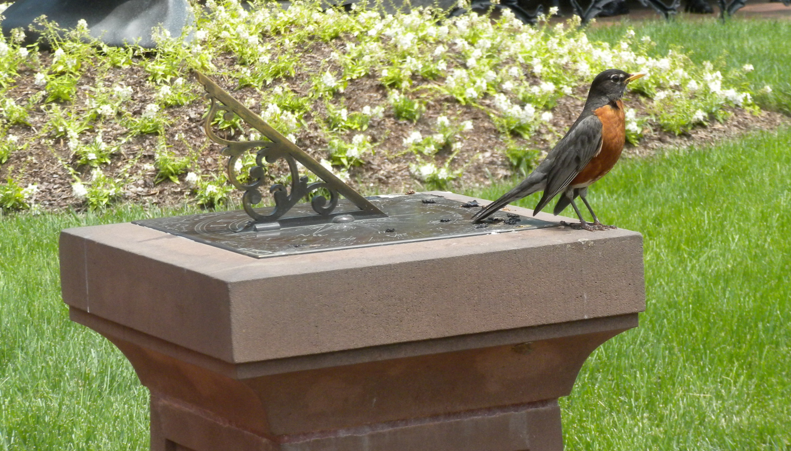 American Robin perched on Parterre Sundial.