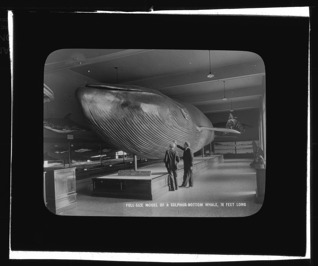 Full-Size Model of a Sulphur-Bottom Whale, 78 Feet Long, between 1910 and 1934, lantern slide.