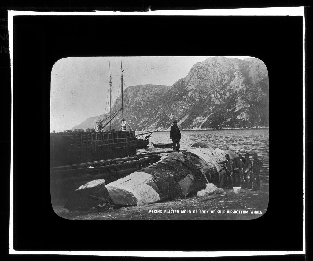 Making Plaster Mold of Body of Sulphur-Bottom Whale, 1903, lantern slide.