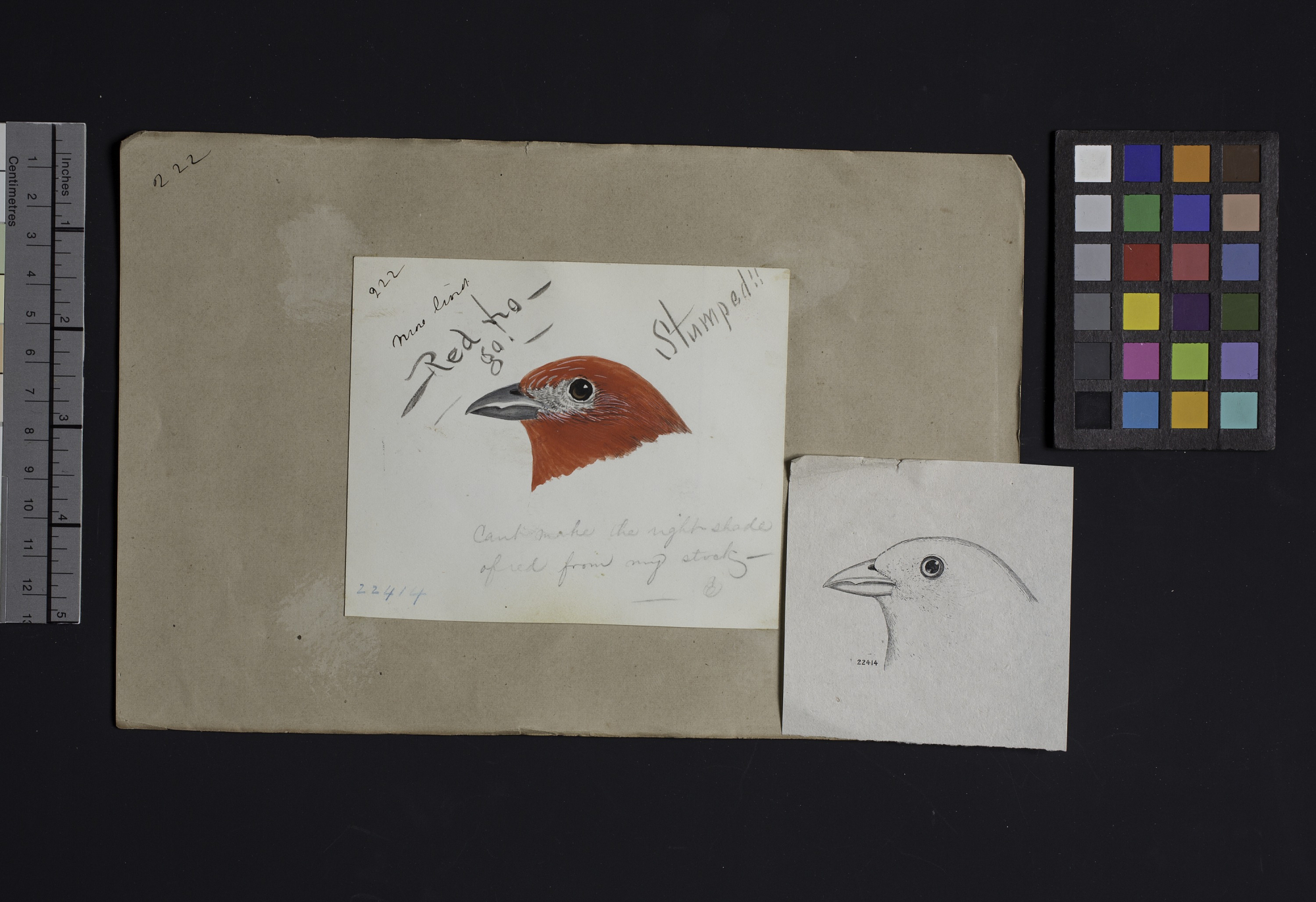 "Robert Ridgway Bird Head Drawing #222 by Robert Ridgway. Text notes show that Ridgway is ""stumped"" o"