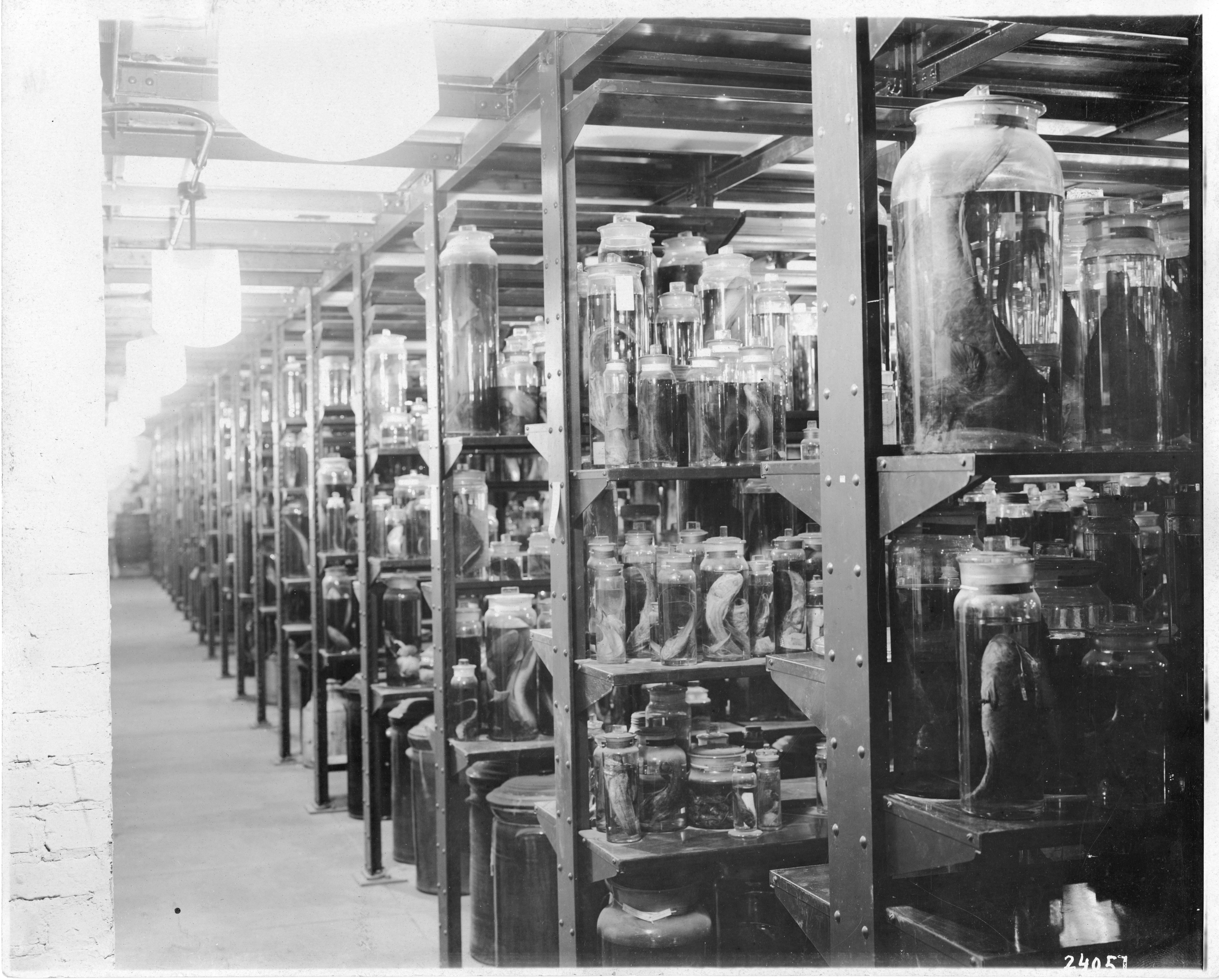 United States National Museum, Alcoholic Specimen Room; Black-and-white photograph