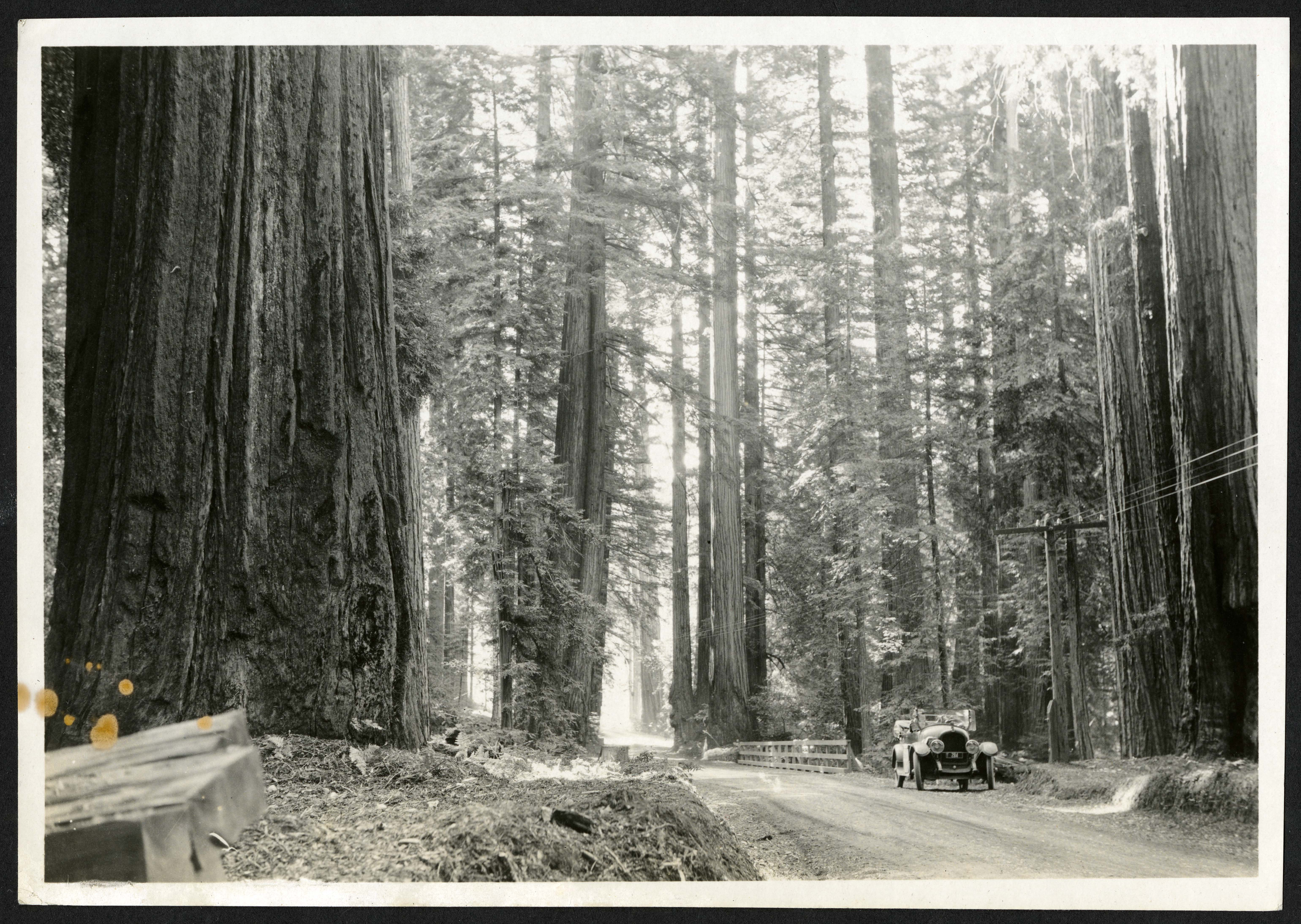 Scene in Bolling Memorial Redwood Grove, Humboldt County, California, 1921.
