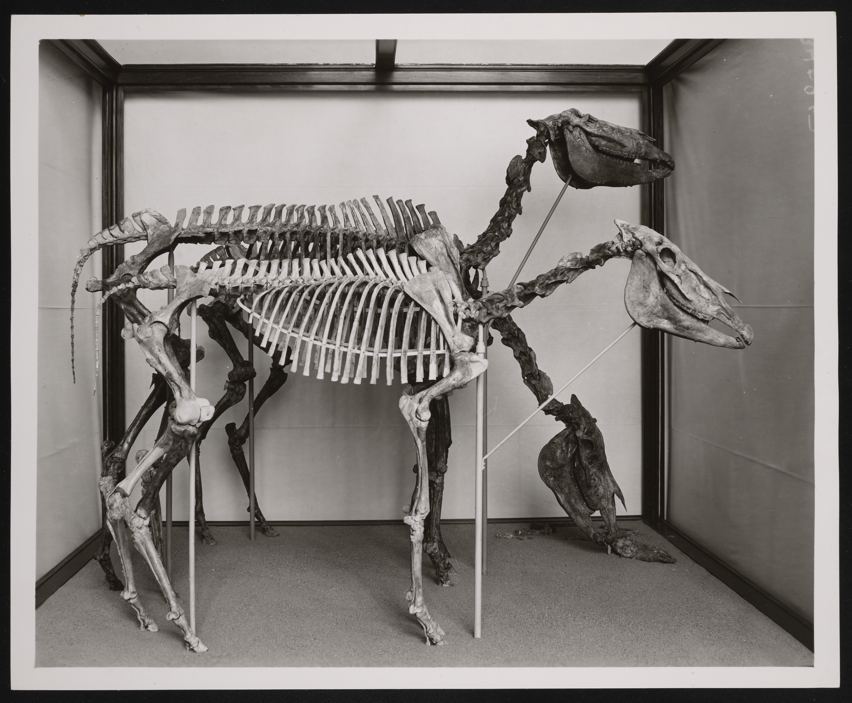 Vertebrate Fossil Exhibit, Division of Vertebrate Paleontology, Natural History Building - Plesippus