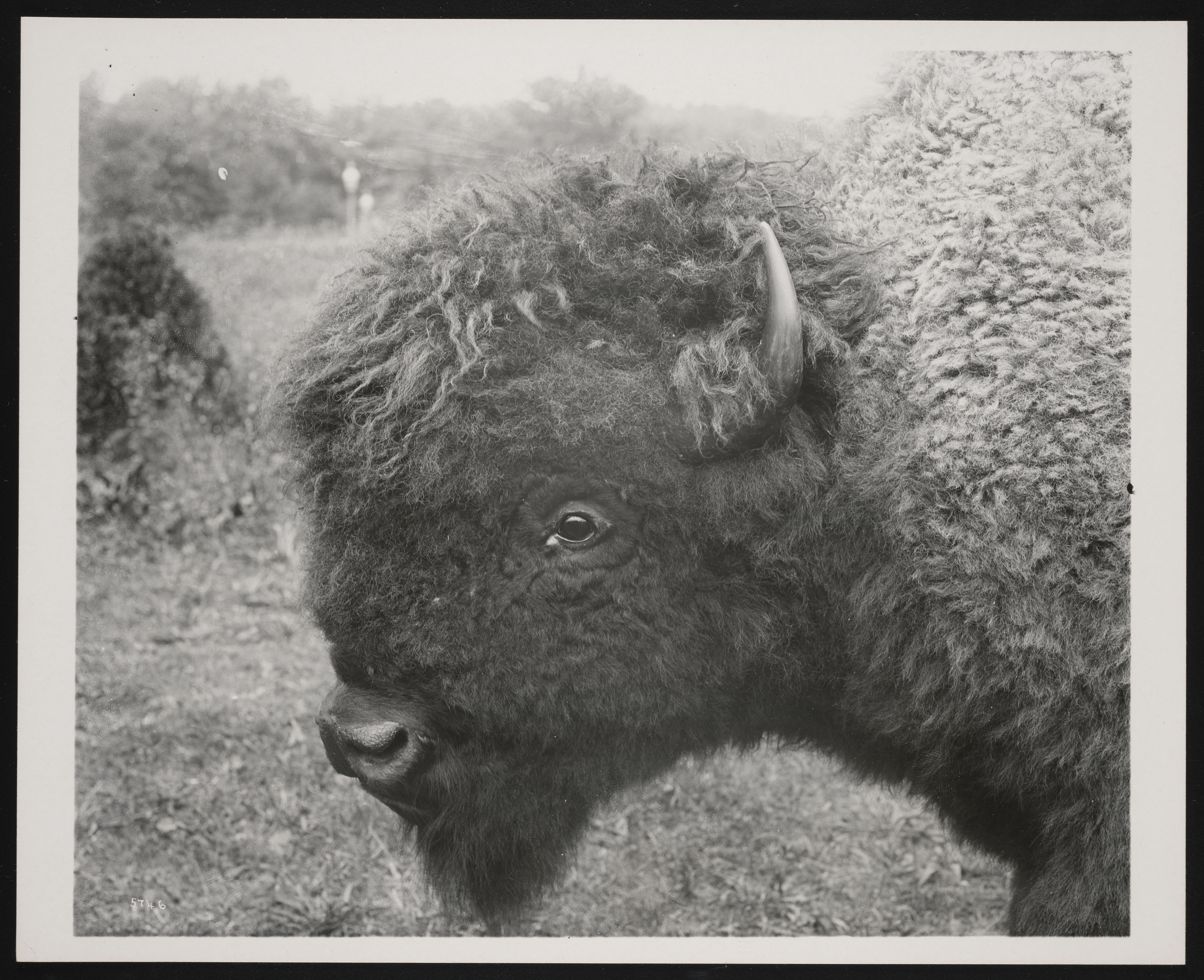 National Zoological Park, American Bison