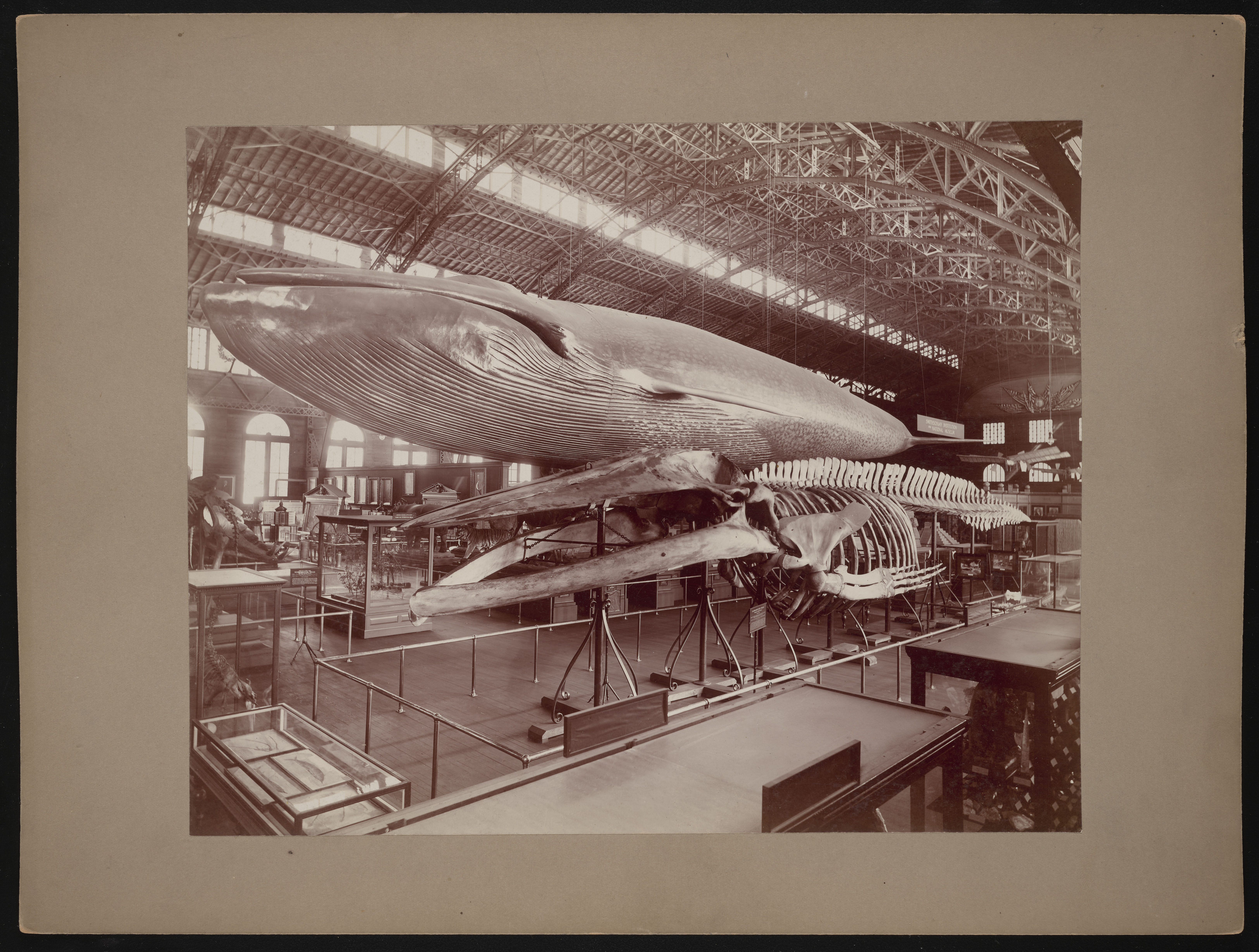 Cast and Skeleton of Blue Whale at Louisiana Purchase Exposition