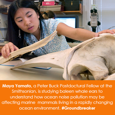 Maya Yamato, a Peter Buck Postdoctural Fellow at the Smithsonian, is studying baleen whale ears to u