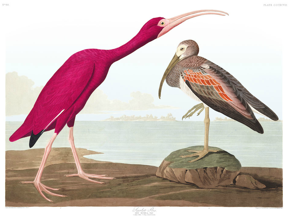 Brightly colored pink bird with long bill alongside more plainly colored, smaller bird lifting leg.