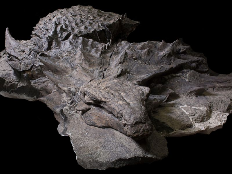 Mummified dinosaur body.