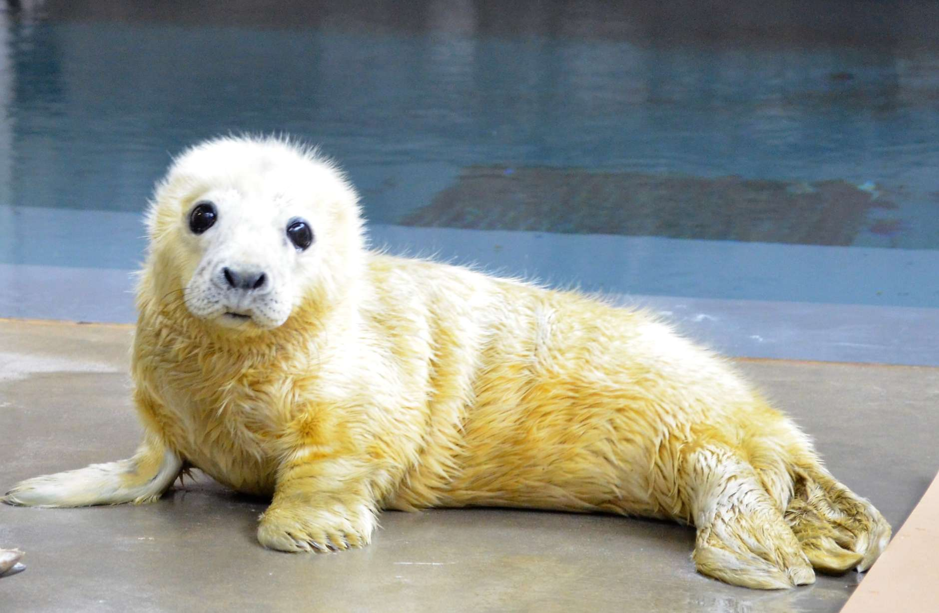 Color picture of a small, white seal pup on concrete.
