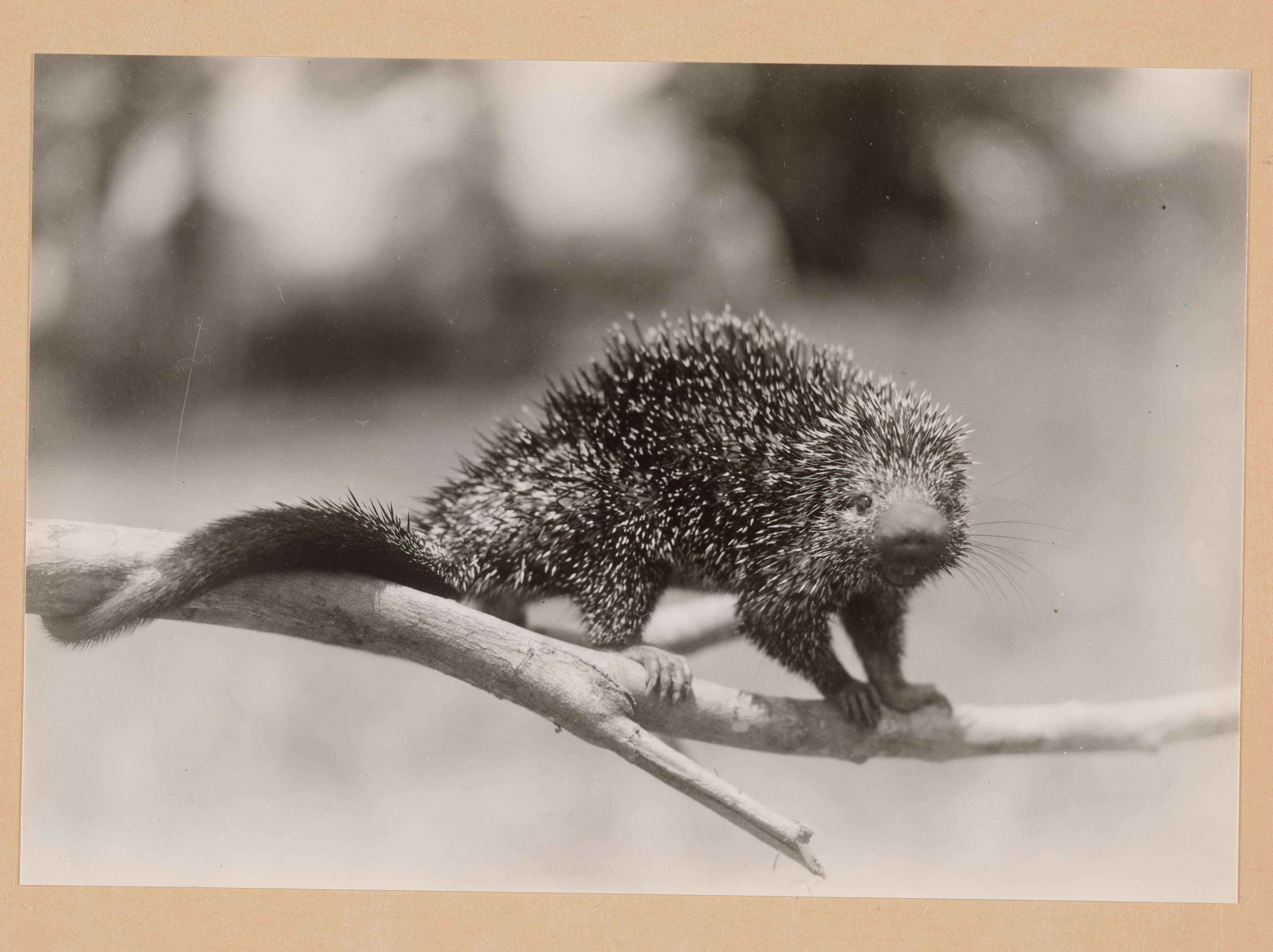 """Science Service, Up Close: The """"Porcupine"""" Letters"""