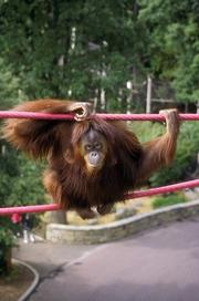 Bonnie, Orangutan (Bornean & Hybrids), October 1, 1995, by Jessie Cohen,