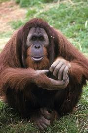 Azy, Orangutan (Bornean & Hybrids), April 1, 1994, by Jessie Cohen, National Zoo