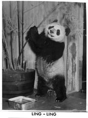 Ling-Ling, Accession 11-009, Smithsonian Institution Archives, Neg. no. 73-9402B.