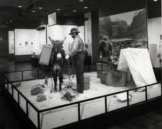 Explorer/Photographer, c. 1870, removing collodion wet plate equipment from the pack burror while hi