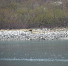 A bear on the shore in Glacier Bay National Park. By Kira Cherrix, May 18, 2012.