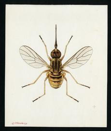 #4 Empidideicus mariouti, Effl., 1945, Smithsonian Institution Ar SIA2012-7832.