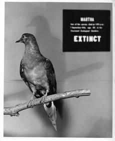 Martha, the last passenger pigeon, on exhibit at the National Museum of Natural History in 1967 will