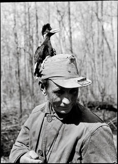 James T. Tanner's photographs of the ivory-billed woodpecker
