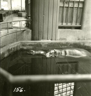 Mother and baby hippo in tank, Date unknown, by Unidentified photographer, Photographic print, Smith