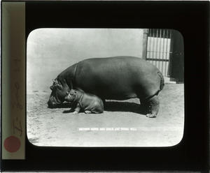 Mother and baby hippo, Date unknown, by Unidentified photographer, Lantern slide, Smithsonian Instit
