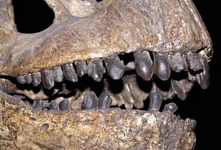 Camarasaurus lentus skull at the National Museum of Natural History, 2002.