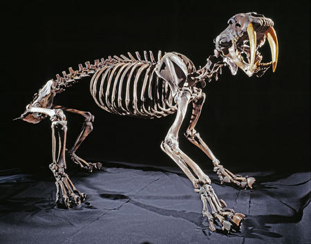 Saber-toothed cat skeleton on exhibit in Ice Age Hall