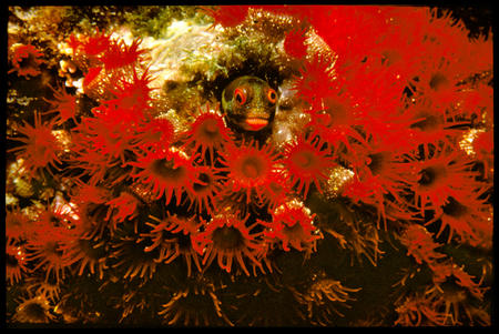 Secretary blenny in coral hole surrounded by strawberry anemones.