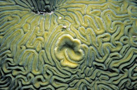 Brain coral, Smithsonian Tropical Research Institute.