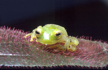 Glass frog, Smithsonian Tropical Research Institute, July, 1987.