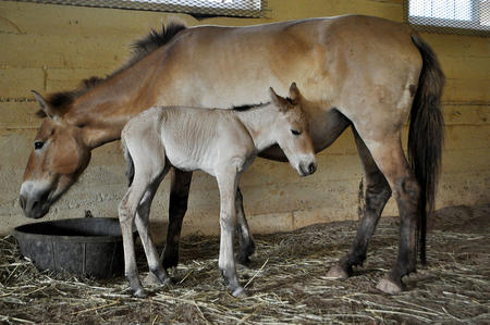 This filly is the first Przewalski's horse conceived through artificial insemination. Photo by Dolor