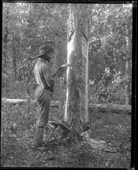 An unidentified man extracting resin from pine tree.