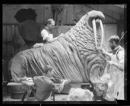 Taxidermists prepare a walrus for exhibition.