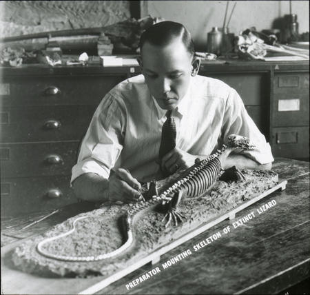 Preparator mounts the skeleton of extinct lizard.
