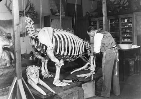 A preparator assembles a walrus skeleton.