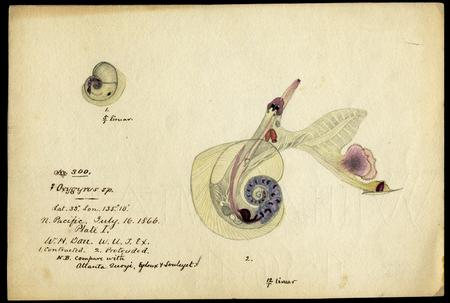 Oxygyrus Species, Mollusk Illustration, July 16, 1866