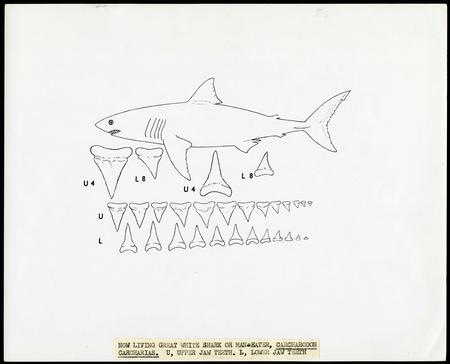 Drawing of shark teeth of the Great White Shark, by unknown, c. 1960s.