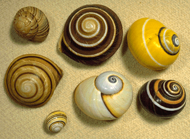Color image of 7 land snail shells, with spiral designs in various shades of brown, yellow and white