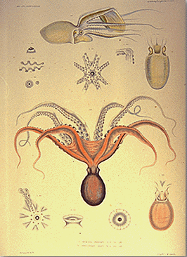 Drawing of mollusks and shells