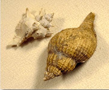 Two mollusk shells