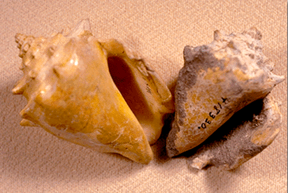 Image of two empty mollusk shells with spiraling tops, on a pink background