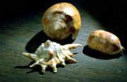 Three shells from Fiji including Textile cone (Conus textile), eyed cowrie shell (Cypraea argus), an