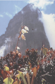 Picture of Mount Roraima, with heliamphora (pitcher plants) in foreground