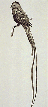 Drawing of male brown quetzal (bird) with long tail feathers