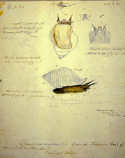 Drawing of Ranella, a type of mollusk