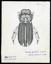 Drawing of Cartwrightia intertribalis.
