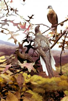 Martha in the National Museum of Natural History passenger pigeon diorama, 1987, by Chip Clark, Nati