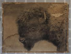 One of the enlargements of the bison